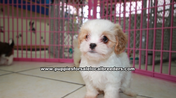 Gorgeous Coton Poo Puppies For Sale in Atlanta Georgia, GA  Coton De Tulear and Toy Poodle Mix