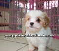 Coton Poo puppies for sale Georgia (9)