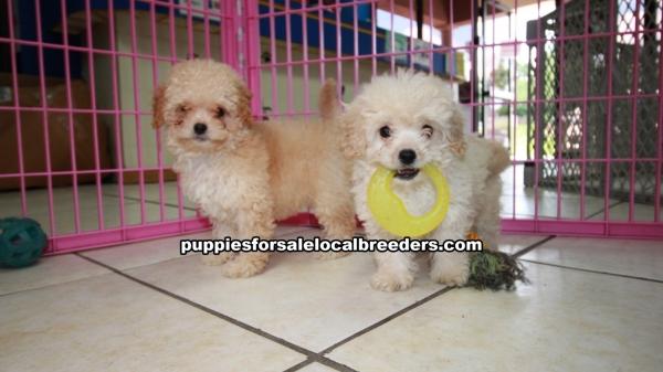 Adorable MaltiPoo Puppies For Sale, Georgia Local Breeders