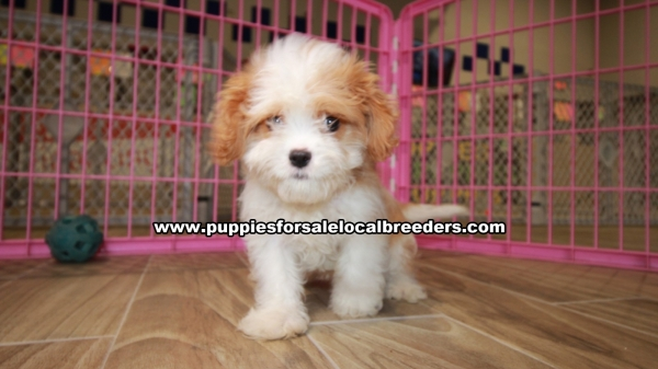 Adorable Cavatese Puppies For Sale in Gwinnett County Georgia
