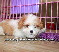 Cavatese puppies for sale Atlanta Ga (8)
