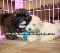 Coton Poo Puppies for sale Gwinnett County Ga (10)