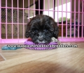 Coton Poo Puppies for sale Gwinnett County Ga (12)