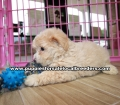 Coton Poo Puppies for sale Gwinnett County Ga (14)