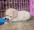 Coton Poo Puppies for sale Gwinnett County Ga (23)