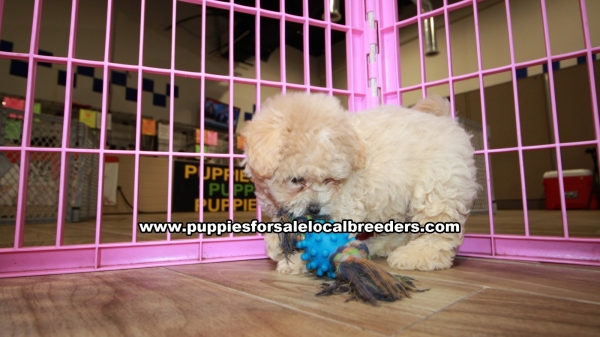 Gorgeous Coton Poo Puppies For Sale in Gwinnett County Georgia Coton De Tulear and Toy Poodle Mix