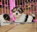 Morkie  Puppies for sale Gwinnett County Ga (10)
