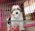 Morkie  Puppies for sale Gwinnett County Ga (1)