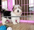 Morkie  Puppies for sale Gwinnett County Ga (2)