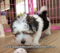 Morkie  Puppies for sale Gwinnett County Ga (3)