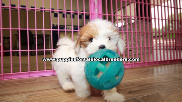 Adorable Morkies, Puppies For Sale, Georgia Local Breeders, Gwinnett County, Ga