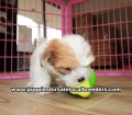 Morkie  Puppies for sale Gwinnett County Ga (7)