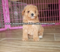 Toy Poodle puppies for sale Gwinnett County Ga (10)
