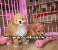 Toy Poodle puppies for sale Gwinnett County Ga (13)