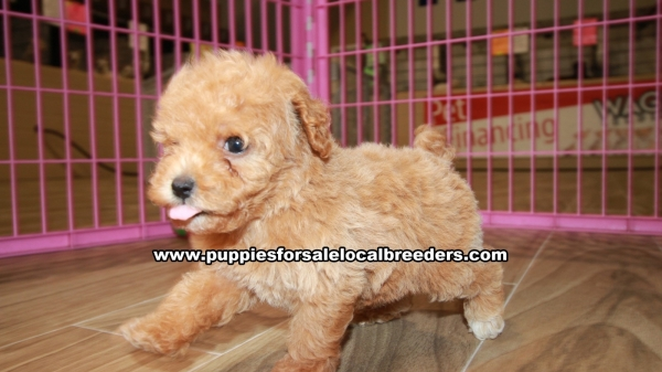 Beautiful Red Toy Poodle, Puppies For Sale, Georgia Local Breeders, Gwinnett County, Ga