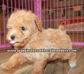 Toy Poodle puppies for sale Gwinnett County Ga (15)