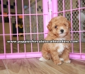 Toy Poodle puppies for sale Gwinnett County Ga (1)