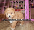 Toy Poodle puppies for sale Gwinnett County Ga (5)
