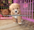 Toy Poodle puppies for sale Gwinnett County Ga (7)