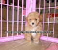 Toy Poodle puppies for sale Gwinnett County Ga (8)