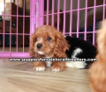 Adorable Cavalier King Charles Spaniel puppies for sale near Atlanta, Adorable Cavalier King Charles Spaniel puppies for sale in Ga, Adorable Cavalier King Charles Spaniel puppies for sale in Georgia