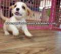 Cavatese Puppies for sale Gwinnett County Georgia (7)