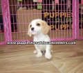 Cavatese Puppies for sale Gwinnett County Georgia (8)