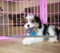 Coton Poo puppies for sale Gwinnett County Georgia (2)