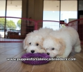 Coton Poo puppies for sale Gwinnett County Georgia (3)