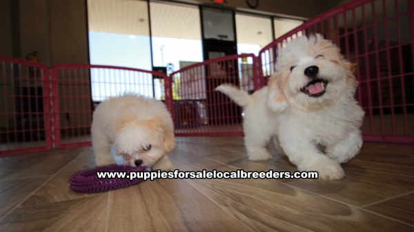 Beautiful Coton Poo Puppies For Sale in Gwinnett County Georgia Coton De Tulear and Toy Poodle Mix