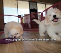 Coton Poo puppies for sale Gwinnett County Georgia (4)
