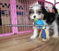 Coton Poo puppies for sale Gwinnett County Georgia (7)