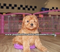 Beautiful Red Cavapoo puppies for sale near Atlanta, Beautiful Red Cavapoo puppies for sale in Ga, Beautiful Red Cavapoo puppies for sale in Georgia