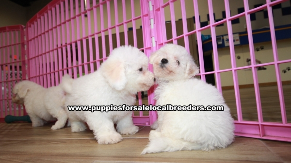 Beautiful Bichon Frise Puppies For Sale, Georgia Local