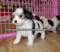 Beautiful Cavachon puppies for sale near Atlanta, Beautiful Cavachon puppies for sale in Ga, Beautiful Cavachon puppies for sale in Georgia