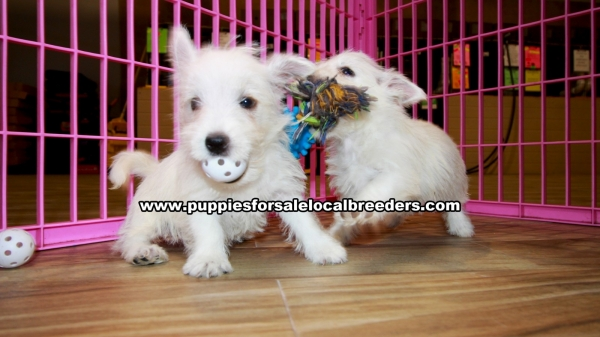 West Highland Terrier Puppies for sale in Georgia at