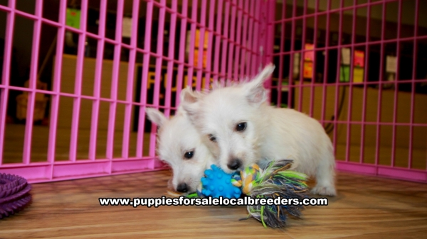 West Highland Terrier Puppies for sale in Georgia at Lawrenceville