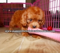 Ruby Red Cavapoo puppies for sale near Atlanta, Ruby Red Cavapoo puppies for sale in Ga, Ruby Red Cavapoo puppies for sale in Georgia