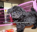 Toy Poodle puppies for sale Gwinnett County GA  (2)