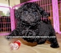 Toy Poodle puppies for sale Gwinnett County GA  (3)