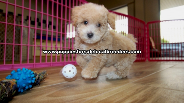 Adorable Toy Poodle, Puppies For Sale, Georgia Local Breeders, Gwinnett County, Ga