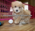 Toy Poodle puppies for sale Gwinnett County GA  (9)