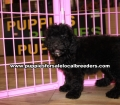 Beautiful Black Toy Poodle puppies for sale near Atlanta, Beautiful Black Toy Poodle puppies for sale in Ga, Beautiful Black Toy Poodle puppies for sale in Georgia