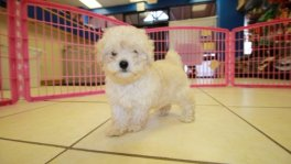 Bichon Poo puppies for sale in georgia