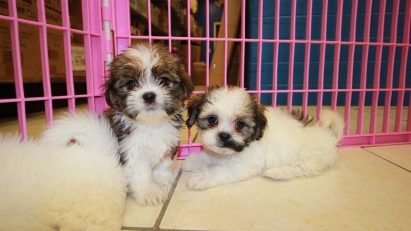 Friendly Hava Tzu Puppies For Sale Georgia Havanese Shih Tzu Designer Hypoallergenic Dog Breed