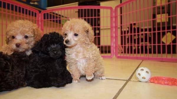 Dogs For Sale Near Atlanta Georgia
