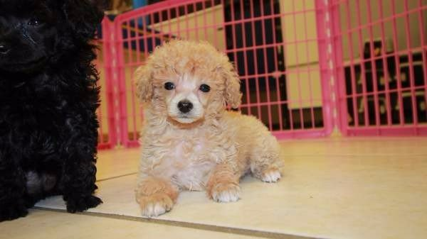 Gorgeous Teacup Toy Black Poodle Puppies For Sale Near