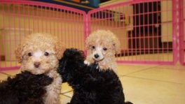Teacup Toy Poodle puppies for sale Georgia Teacup Toy Poodle puppy breeders Ga