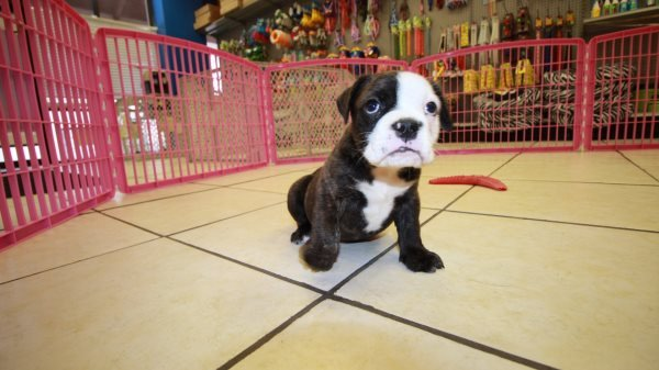 Affectionate Brindle, Olde English Bulldog Puppies For Sale In Ga
