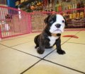 olde english bulldog (4)